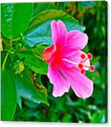 Pink Hibiscus Near Celadon Factory In Chiang Mai-thailand Canvas Print