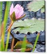 Pink Lily And Pads Canvas Print