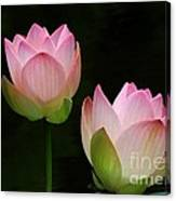 Pink Lotus Duet Canvas Print