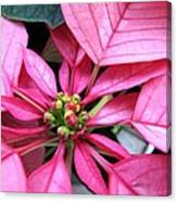 Pink Macro Poinsettia Canvas Print