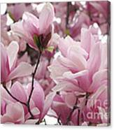 Pink Magnolia Blossoms Washington Dc Canvas Print