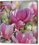 Pink Magnoloias In Bloom Canvas Print