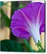 Pink Morning Glory Canvas Print