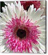Pink N White Gerber Daisy Canvas Print