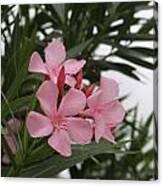 Pink Oleander 4 Canvas Print