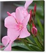 Pink Oleander 5 Canvas Print