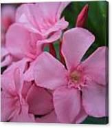 Pink Oleander 6 Canvas Print
