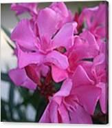 Pink Oleander Bunch Canvas Print