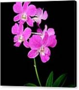 Pink Orchids 9 Canvas Print
