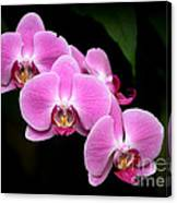 Pink Orchids In A Row Canvas Print
