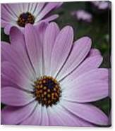 Pink Osteospermum Canvas Print