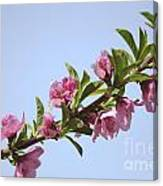 Pink Peach Blossoms Canvas Print