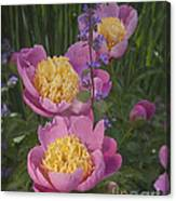 Pink Peonies In My Garden Canvas Print