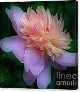 Pink Peony Flower Canvas Print