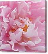 Pink Peony Flower Waving Petals  Canvas Print