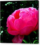 Pink Peony On The Side Canvas Print