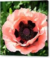 Pink Poppy Bloom Canvas Print