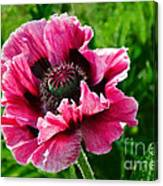 Pink Poppy Canvas Print