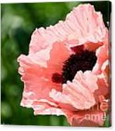 Pink Poppy Today Canvas Print