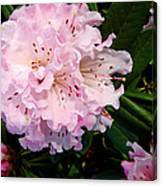 Pink Rhodies Canvas Print
