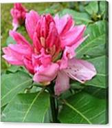 Pink Rhododendron Bud Canvas Print