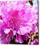 Pink Rhododendrons Canvas Print