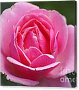 Pink Rose 08 Canvas Print