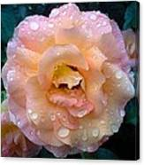 Pink Rose Bathed In Rain Canvas Print