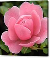 Pink Rose Bloom Canvas Print