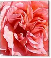 Pink Rose Closeup Canvas Print