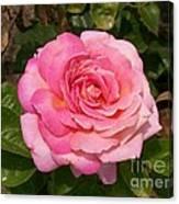 Pink Rose Full Bloom Canvas Print