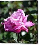 Pink Rose Garden Canvas Print