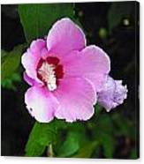 Pink Rose Of Sharon 2 Canvas Print