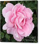 Pink Rose Square Canvas Print