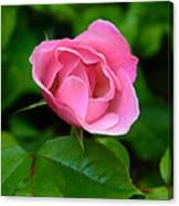 Pink Rose Volunteer Canvas Print