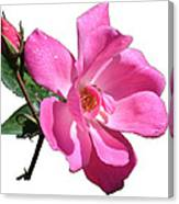Pink Rose With Bud Canvas Print