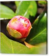 Pink Rosebud Canvas Print