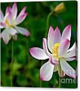 Pink Sacred Lotus Canvas Print