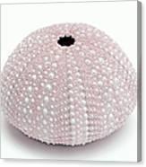 Pink Sea Urchin White Canvas Print
