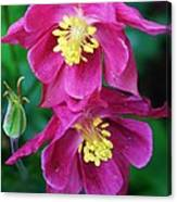 Pink Sensations Columbine Canvas Print