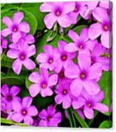 Pink Sorrel Canvas Print