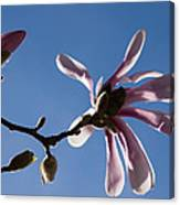 Pink Spring - Blue Sky And Magnolia Blossoms Canvas Print
