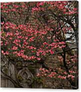 Pink Spring - Dogwood Filigree And Lace Canvas Print
