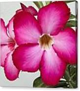 Pink Star Flower Canvas Print