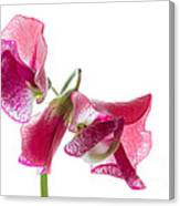 Pink Sweet Pea 2 Canvas Print