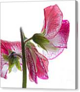 Pink Sweet Pea Canvas Print