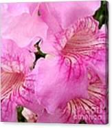 Pink Thunbergia Canvas Print