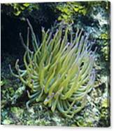 Pink Tipped Giant Sea Anemone Canvas Print
