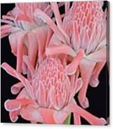 Pink Torch Ginger Trio On Black - No 2 Canvas Print