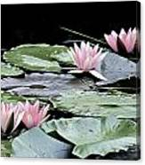 Pink Water Lilies Painting Canvas Print